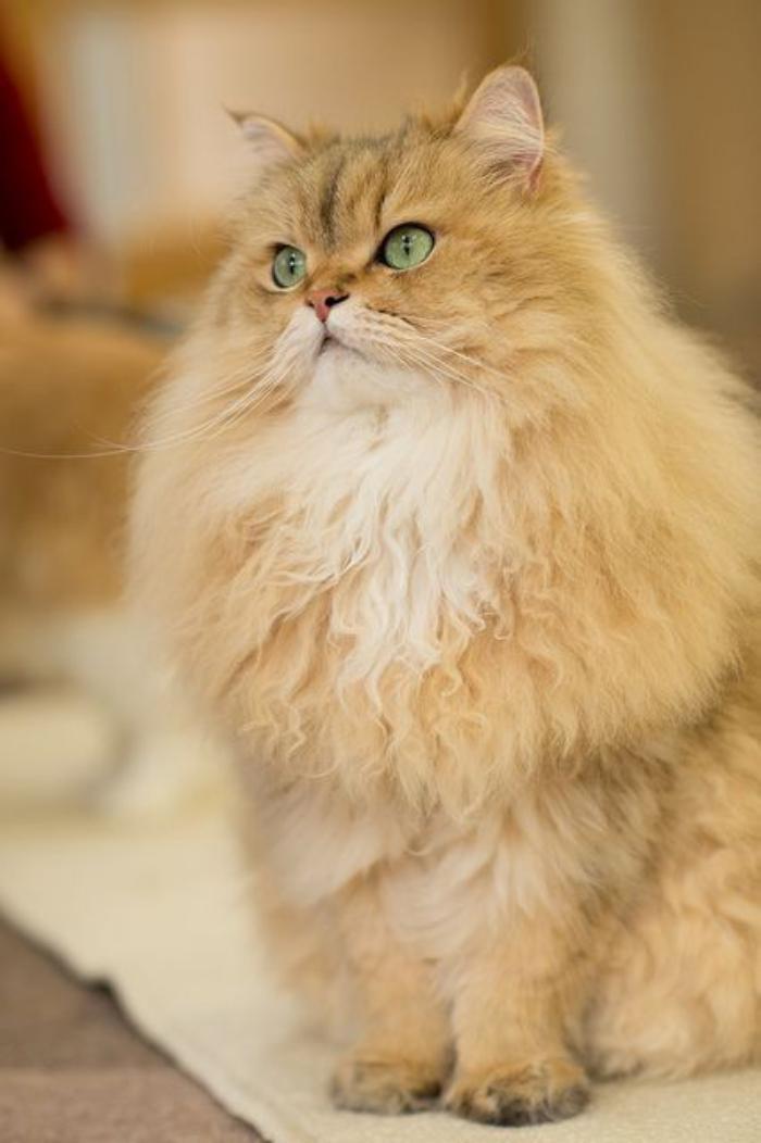 chat-persan-beige-aux-yeux-verts-et-très-poilu