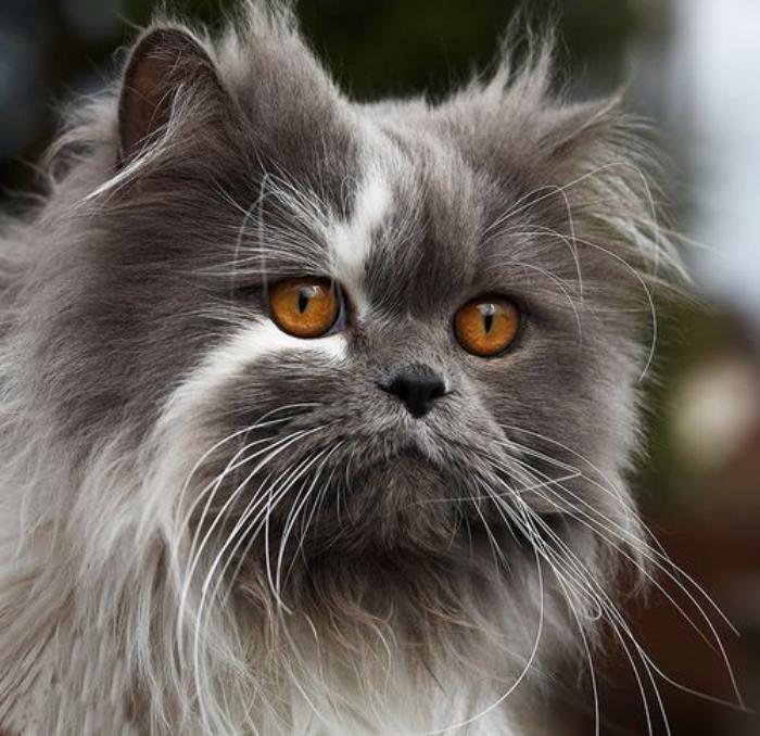 chat-persan-bleu-avec-une-tache-blanche-sur-le-visage