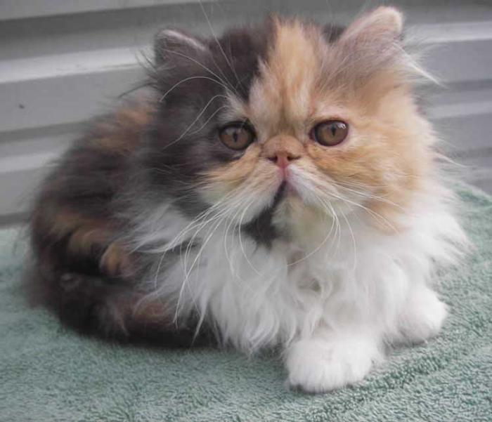 chat-persan-calico-persan-tricolore-gris-blanc-et-roux