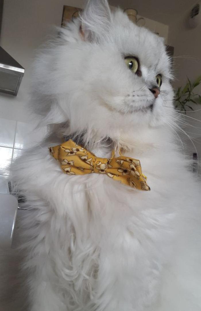 chat-persan-chat-blanc-à-long-poil-animaux-magnifiques