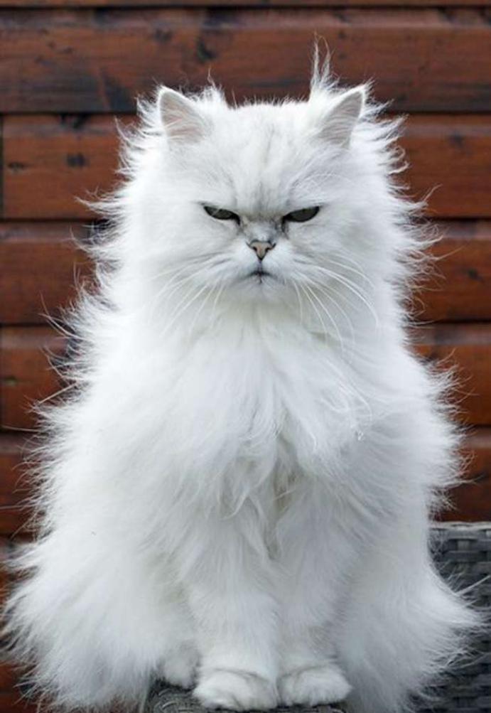 le chat persan en 67 photos qui vous feront aimer cette race de chats. Black Bedroom Furniture Sets. Home Design Ideas