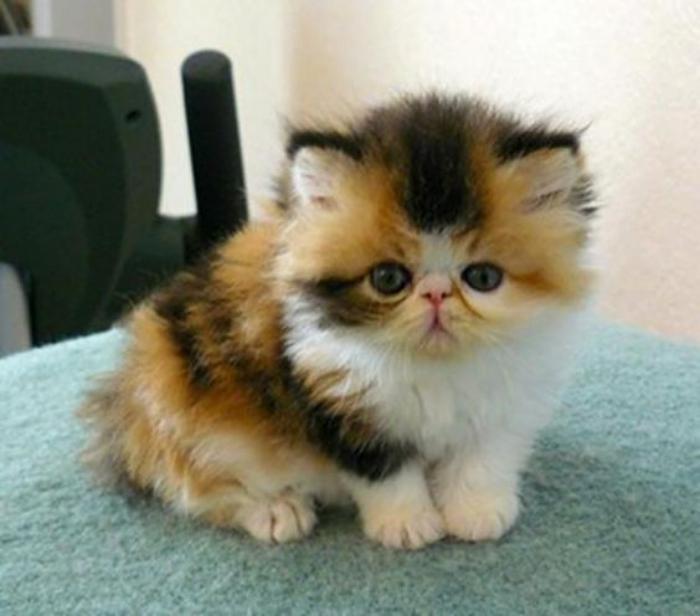 chat-persan-chat-mignon-en-trois-couleurs