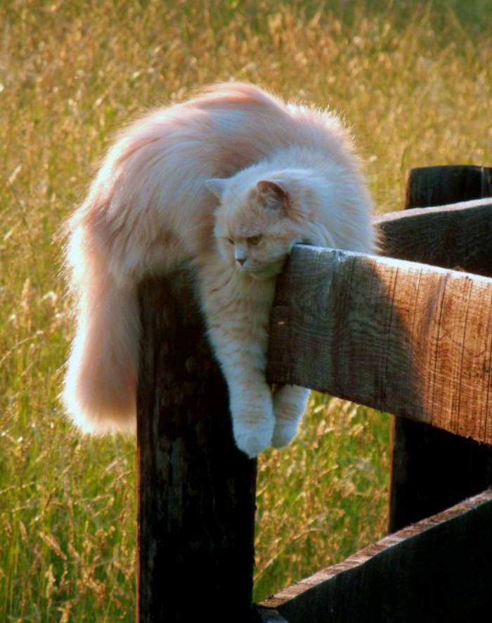 chat-persan-chat-qui-aime-les-balades-dans-les-alentours