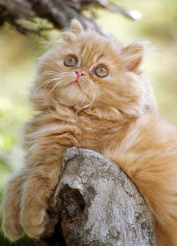 chat-persan-chat-roux-à-long-poil