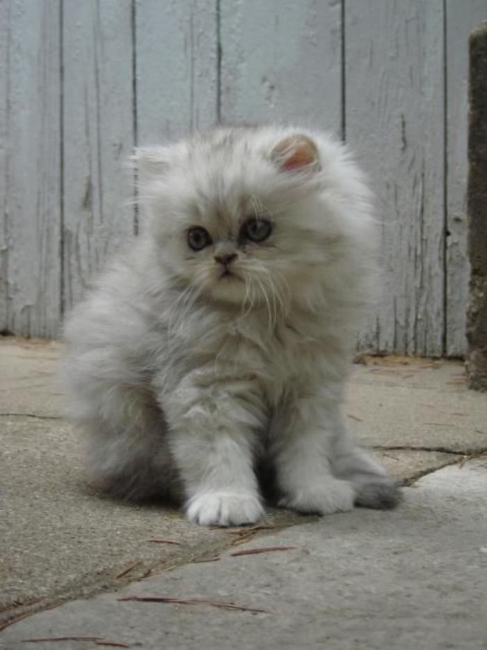 chat-persan-chaton-adorable-au-regard-timide