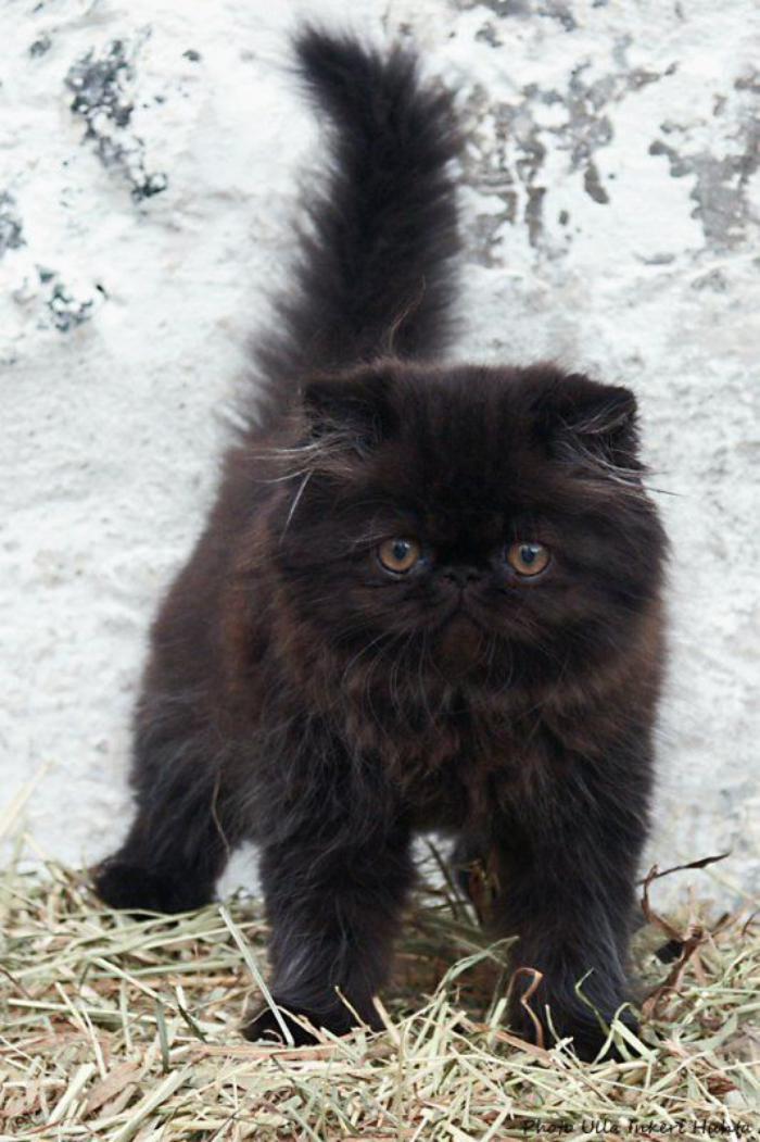 chat-persan-chaton-persan-noir