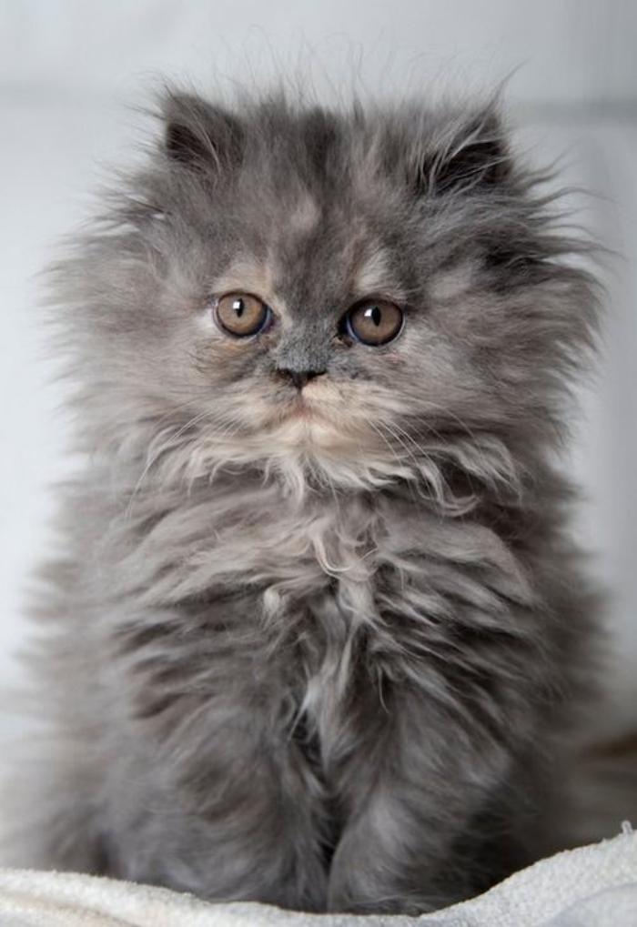 Le chat persan en 67 p...