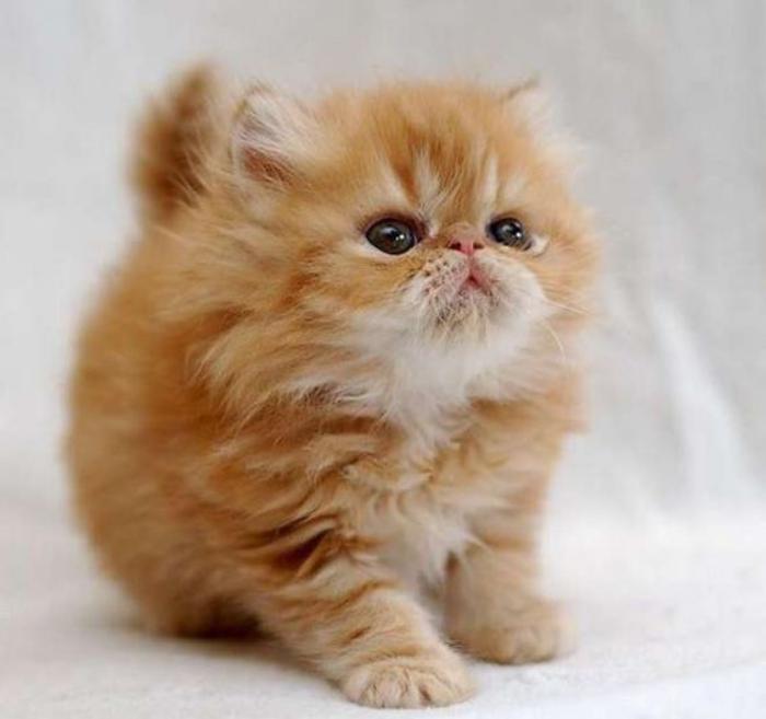 chat-persan-chaton-roux-à-long-poil-très-doux