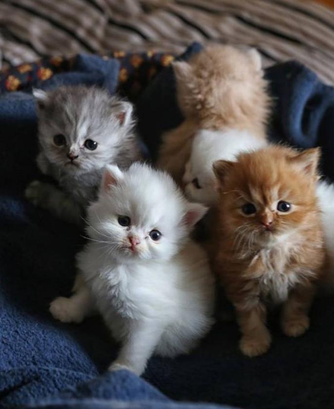 chat-persan-chatons-adorables-à-quelques-semaines