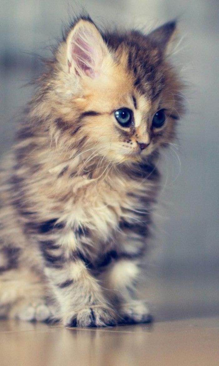chat-persan-croisement-de-chat-persan-un-petit-chaton-très-joli