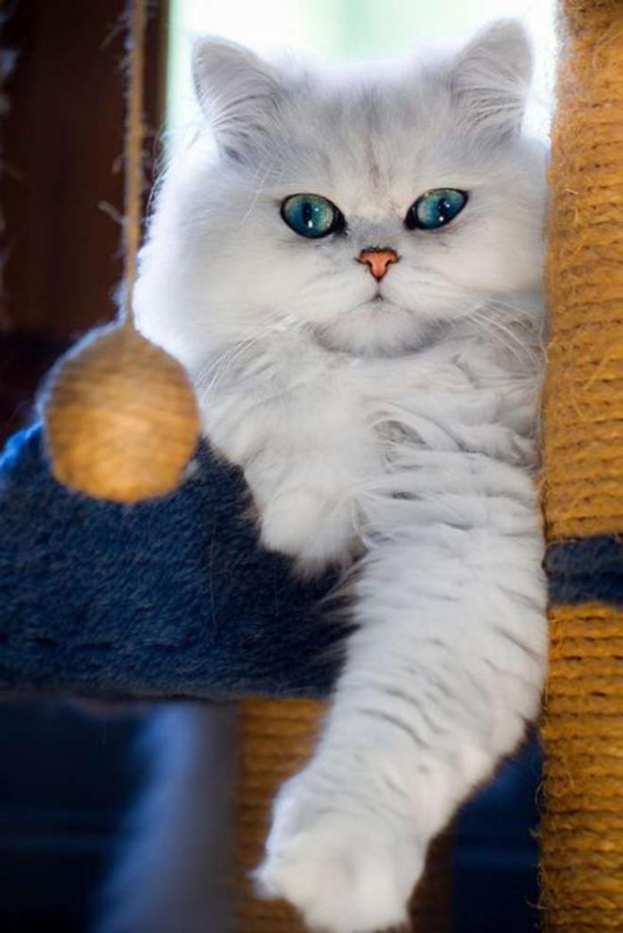 chat-persan-croisement-de-perasan-persan-chinchilla