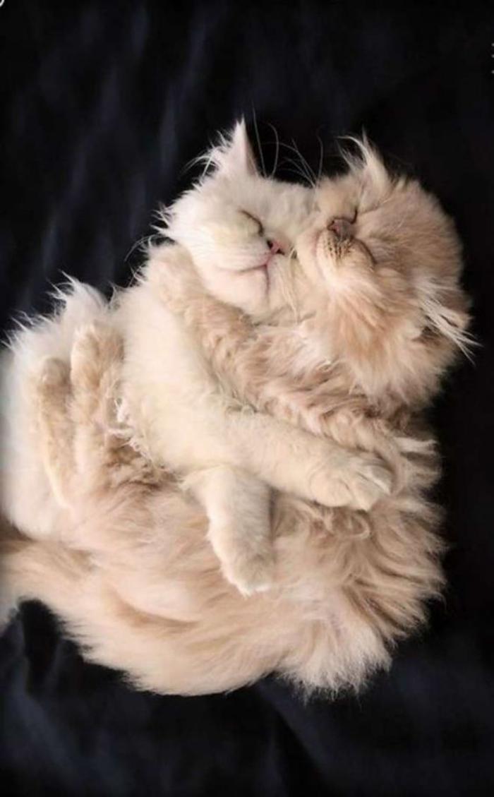 chat-persan-deux-chats-persans-qui-s'aiment