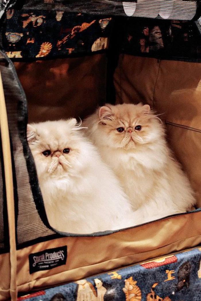 chat-persan-deux-jolis-chats-persans-prêts-à-voyager