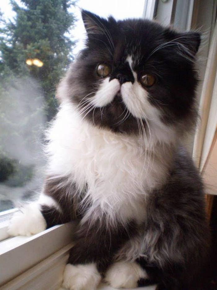 chat-persan-en-noir-et-blanc-un-persan-typique-sur-le-rebord-de-la-fenêtre
