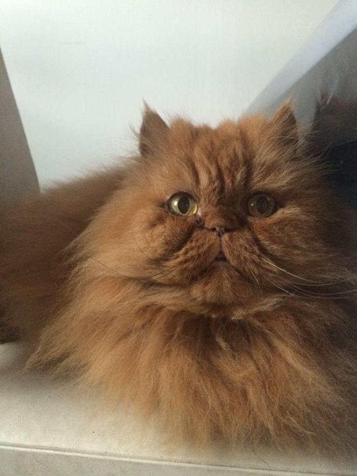 chat-persan-grand-chat-roux-les-races-de-chats-domestiques