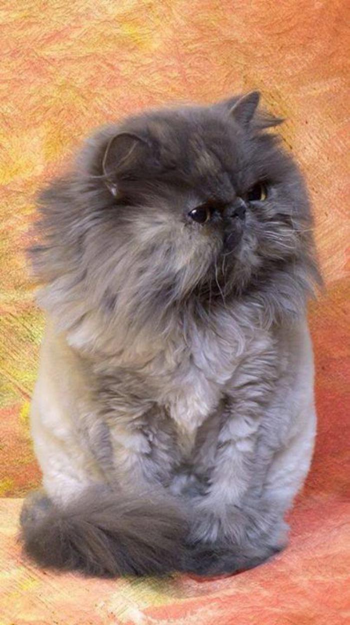 chat-persan-gris-chat-de-race-persane-couleur-grise
