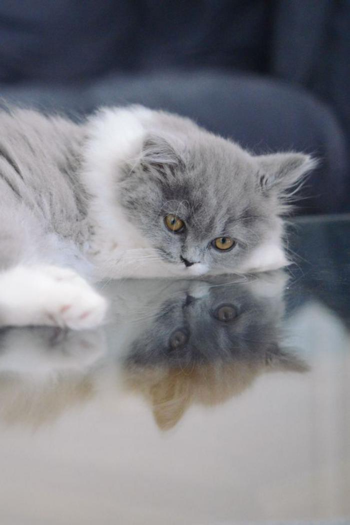 chat-persan-images-de-chats-persans-chat-gris-et-blanc-chat-domestique