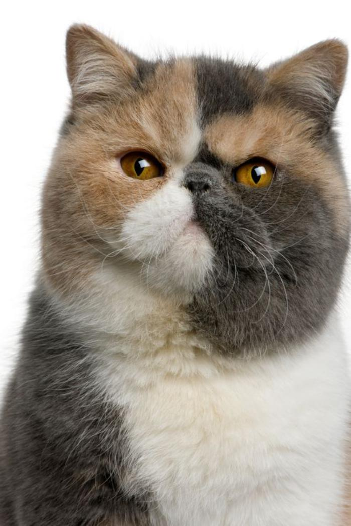 chat-persan-joli-chat-persan-à-poil-court