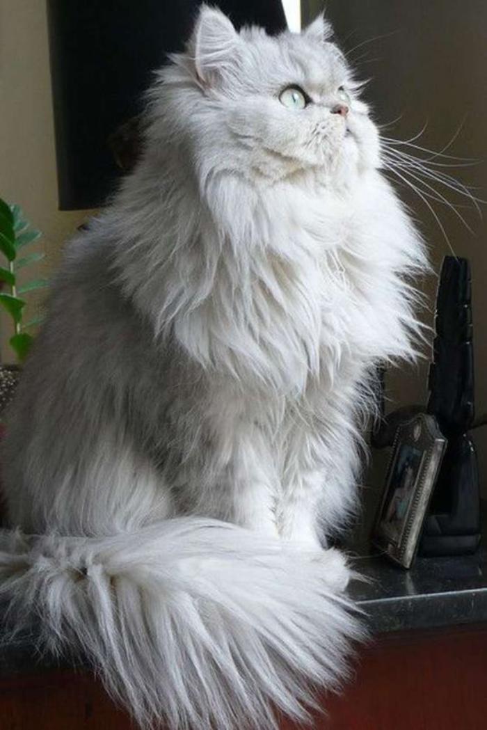 chat-persan-le-parfait-animal-e-compagnie