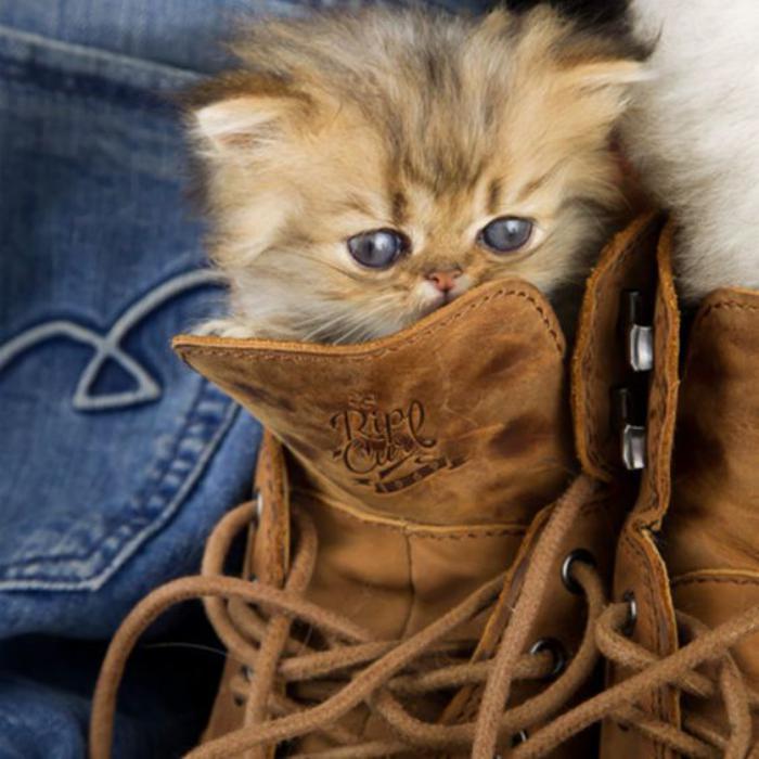 chat-persan-l'incroyable-chaton-roux-et-gris
