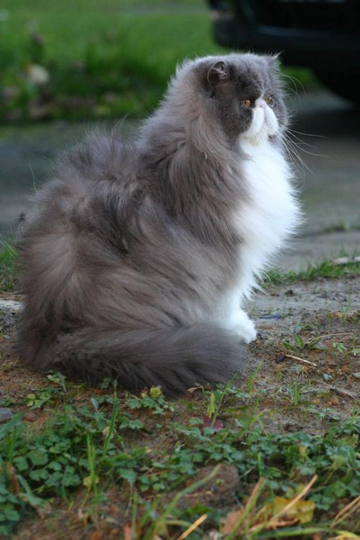chat-persan-majestueux-une-race-poilue-et-aristocratique