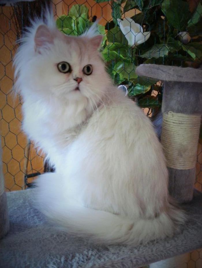 chat-persan-persan-chinchilla-blanc-poilu