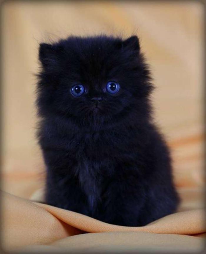 chat-persan-petit-chaton-noir-race-persan