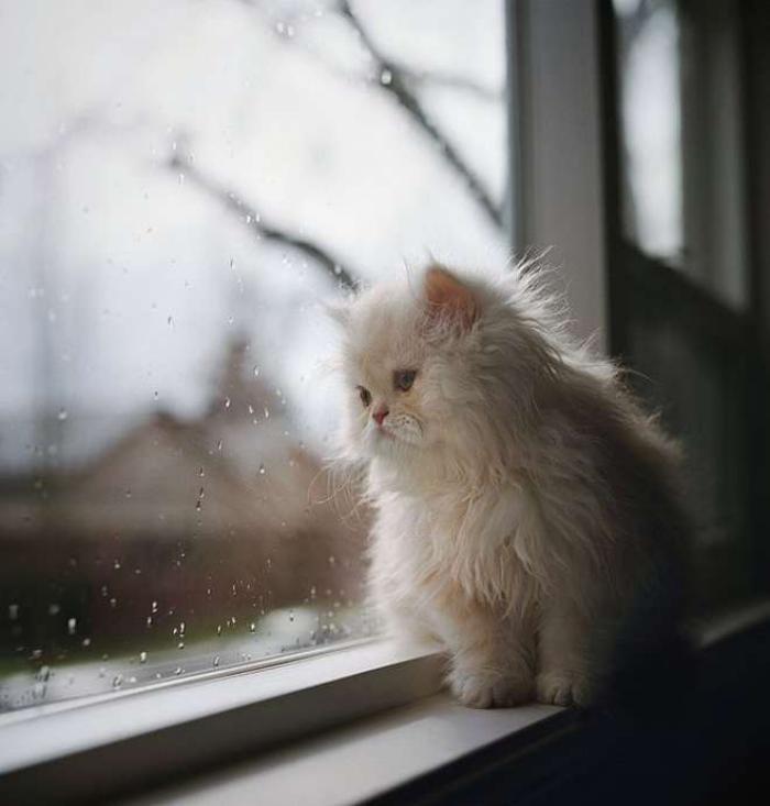 chat-persan-petit-chaton-persan-super-mignon