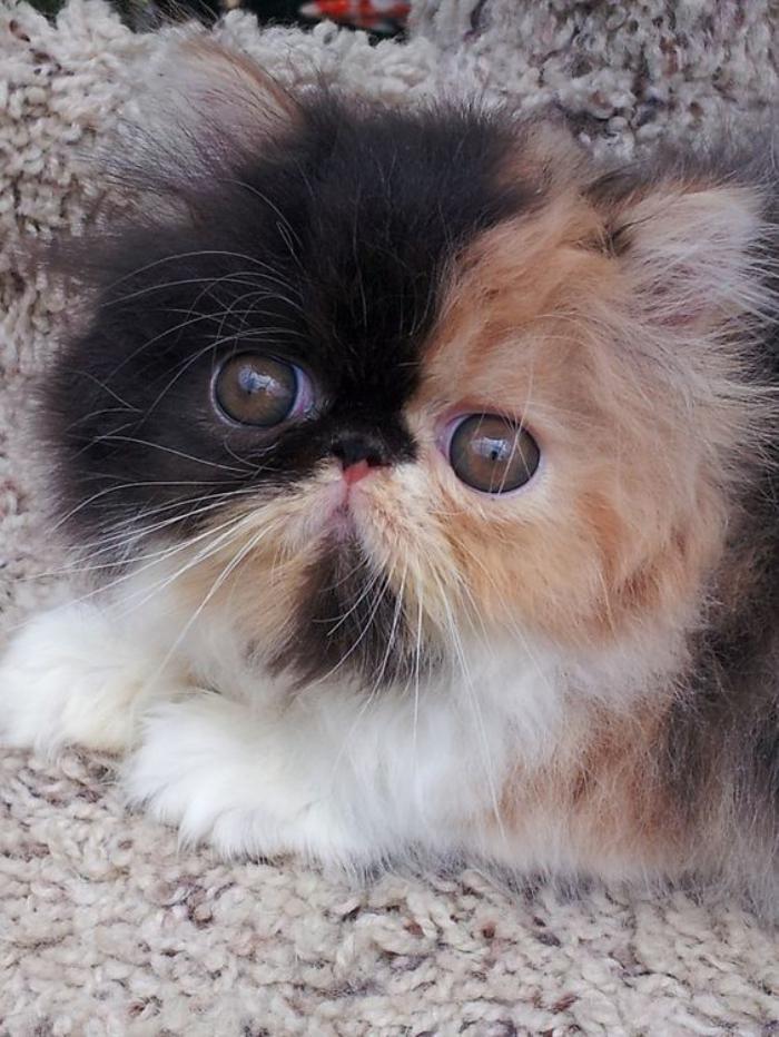 chat-persan-petit-chaton-tricolore