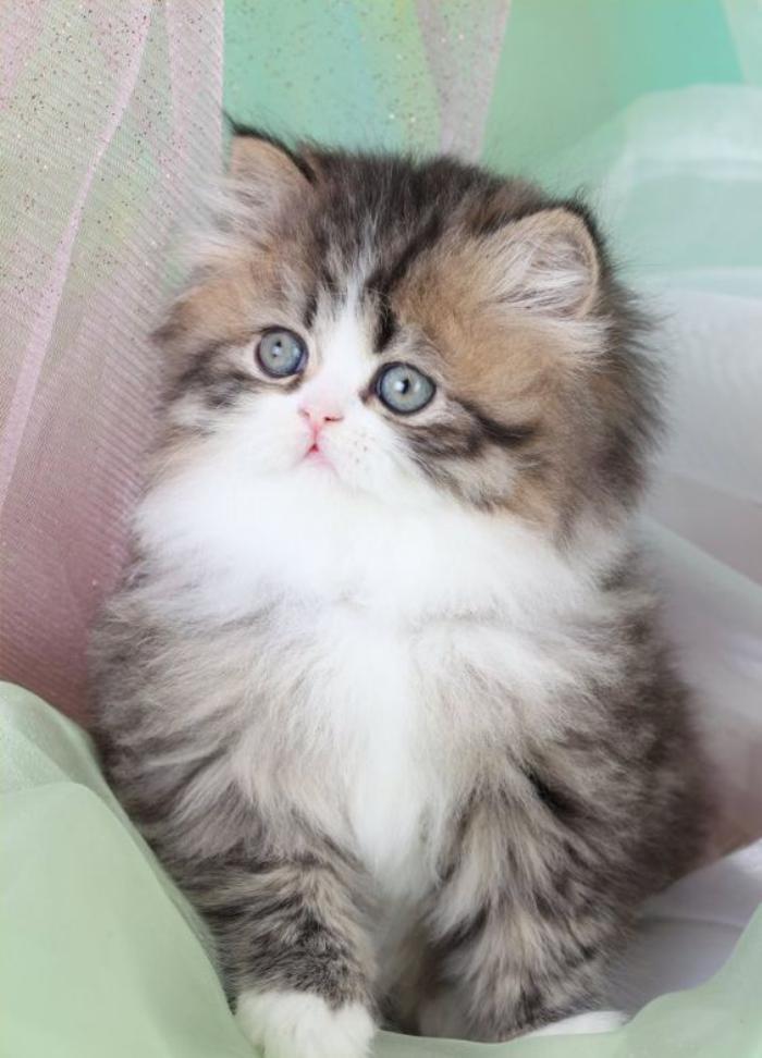 chat-persan-petit-persan-adorable-blanc-et-gris