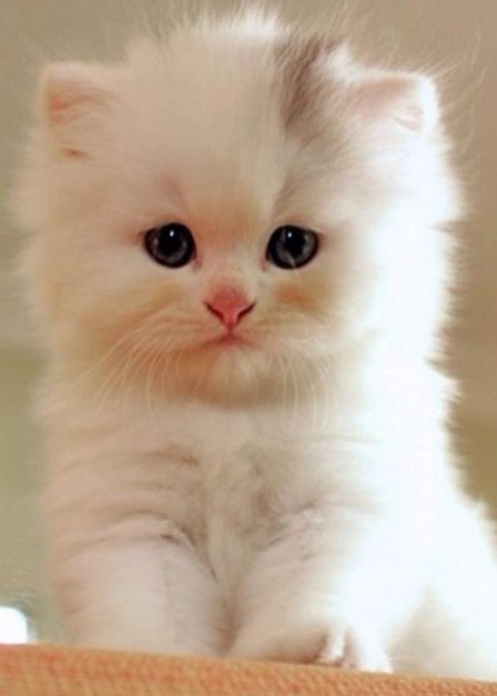 chat-persan-petite-boule-mignonne-à-long-poil