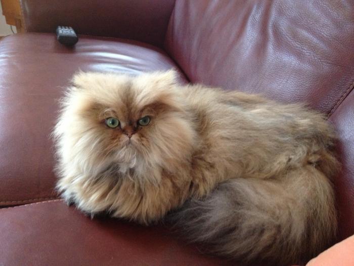 chat-persan-poilage-abondant-chat-très-joli-persan