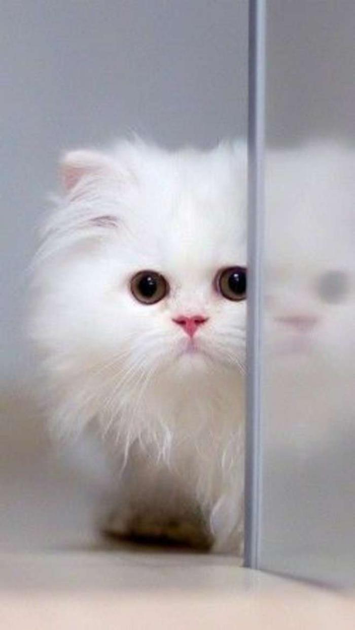 chat-persan-représentanr-blanc-de-la-grande-famille-chats-persans