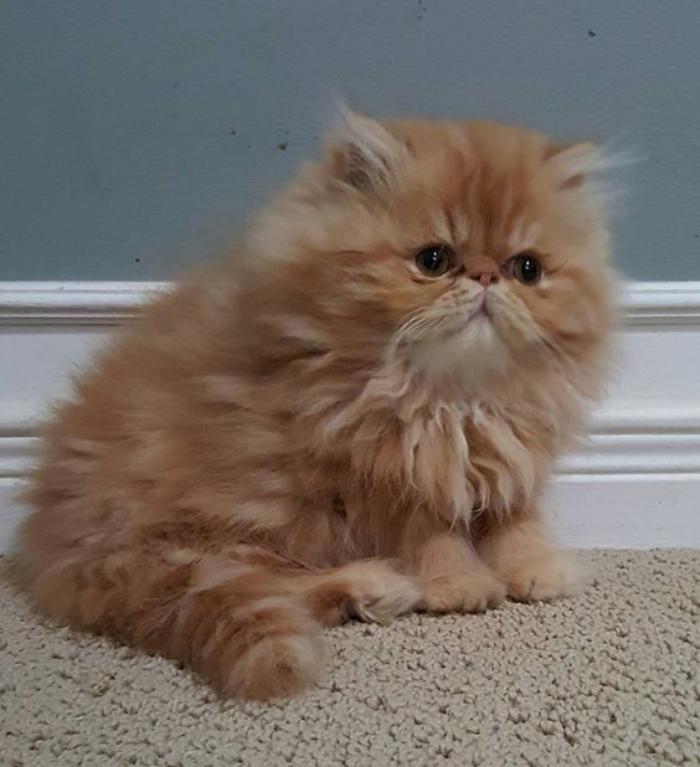 chat-persan-roux-chats-les-plus-beaux-chats
