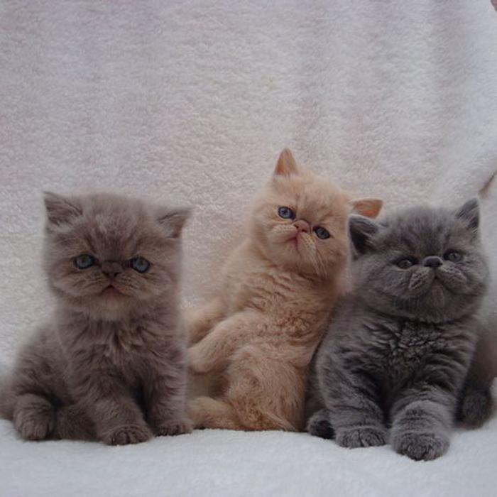 chat-persan-trois-chatons-magnifiques-persans-jolis