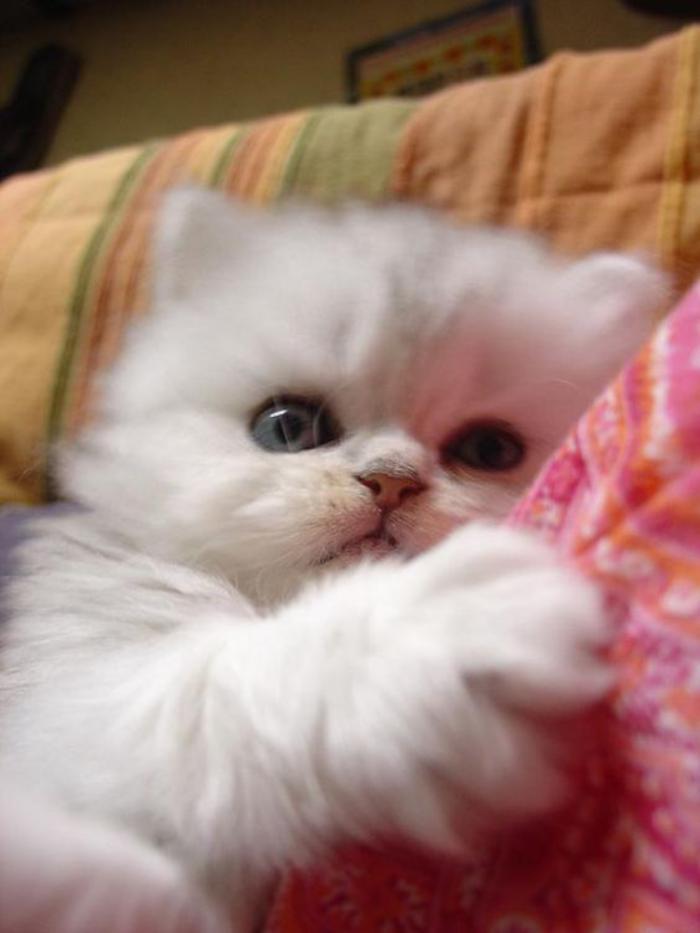 chat-persan-un-petit-chat-blanc-qui-veut-s'endormir