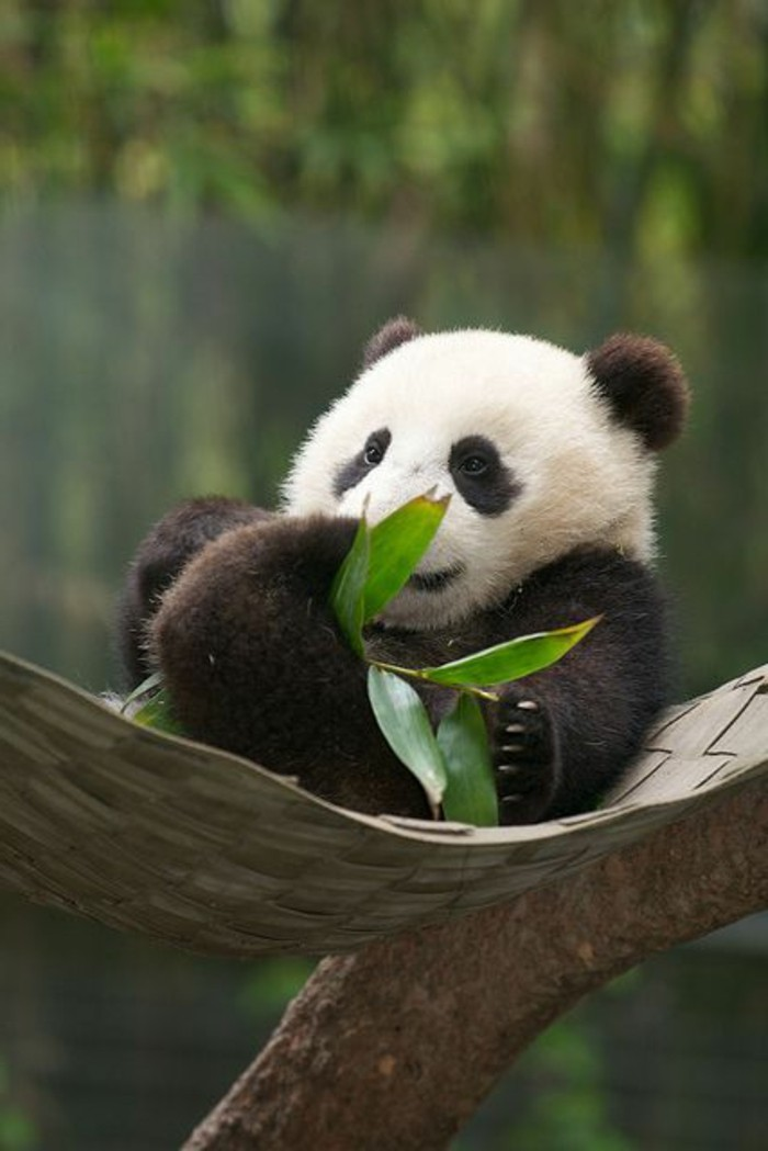 chouette-photo-panda-géant-adorable-cool-panda