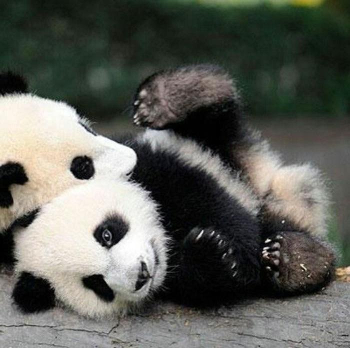 chouette-photo-panda-géant-adorable-deux