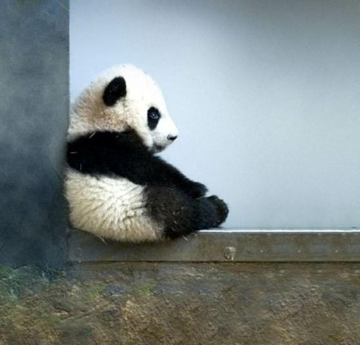 chouette-photo-panda-géant-adorable-en-angle