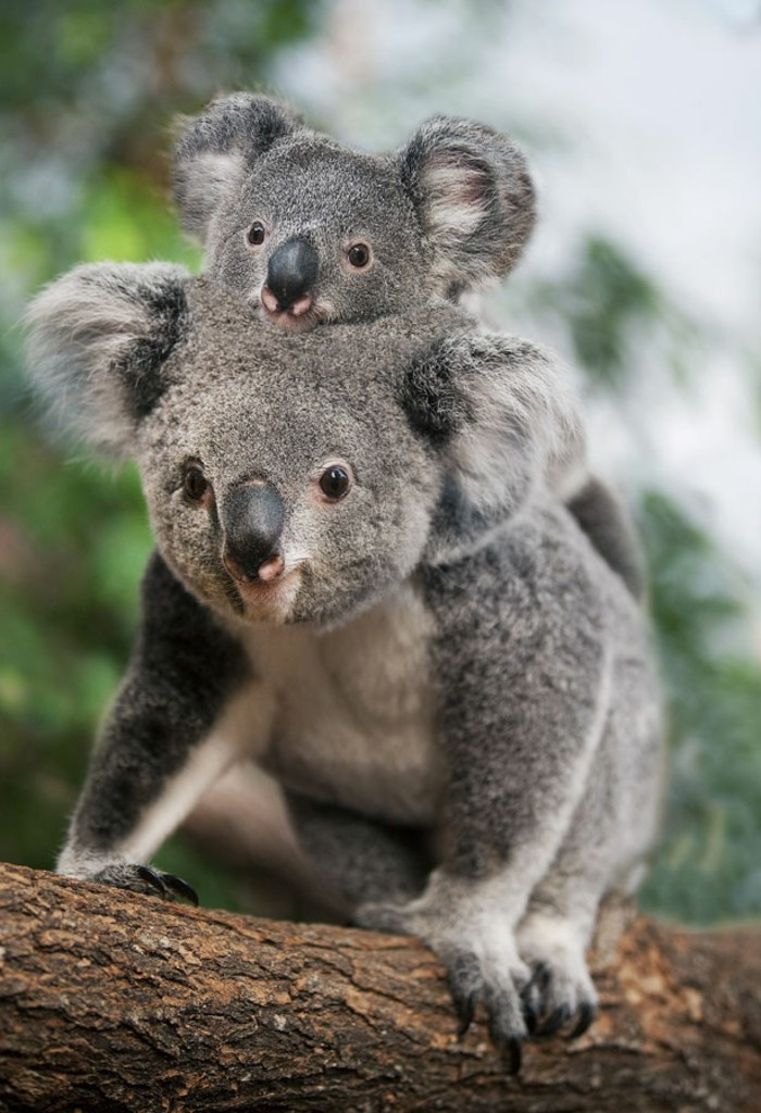 les meilleures photos et vid os de b b koala. Black Bedroom Furniture Sets. Home Design Ideas