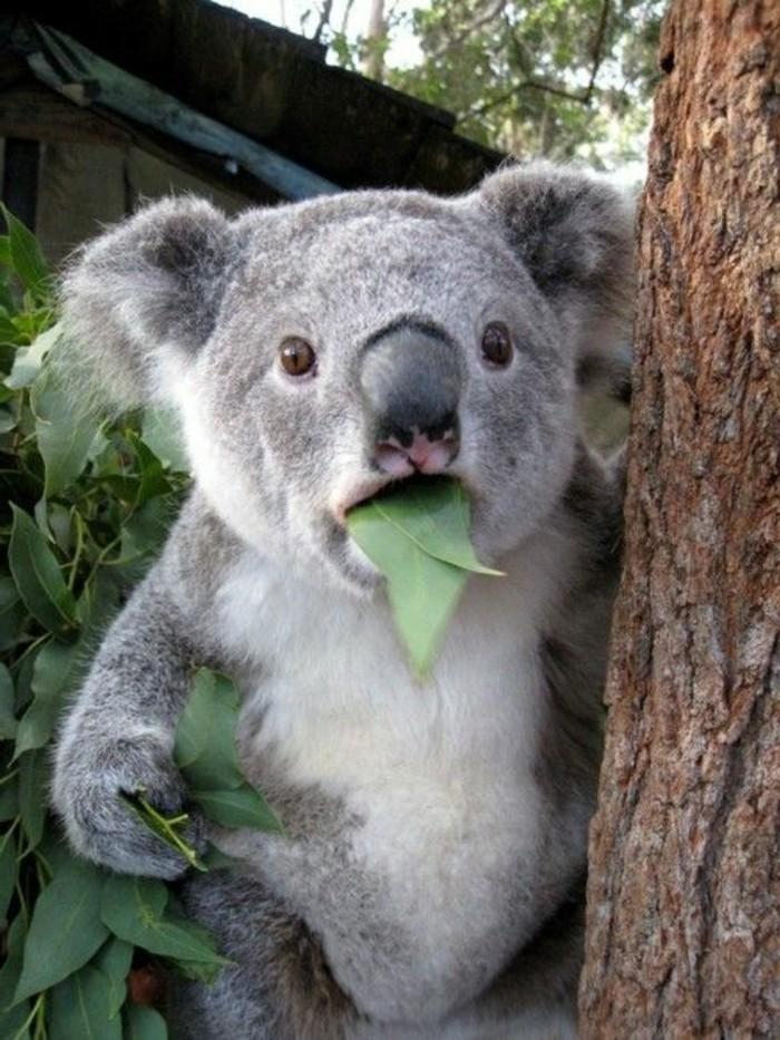 cool-koala-d-australie-nourriture-koala-amusement