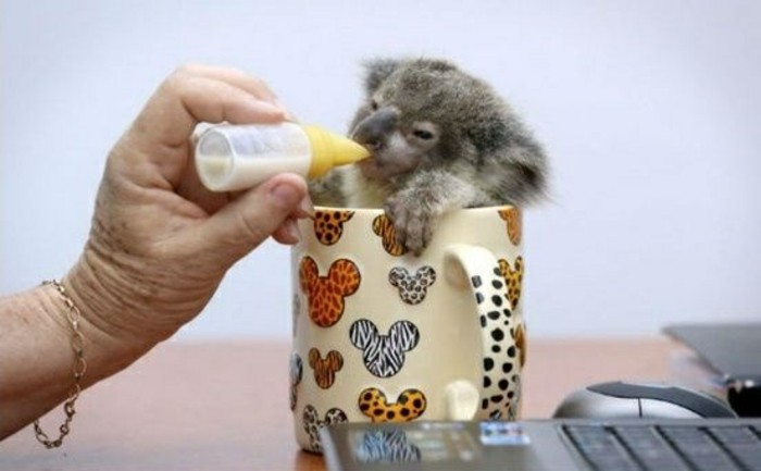 cool-koala-d-australie-nourriture-koala-chouette-photo