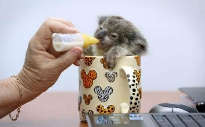 cool-koala-d-australie-nourriture-koala-chouette-photo