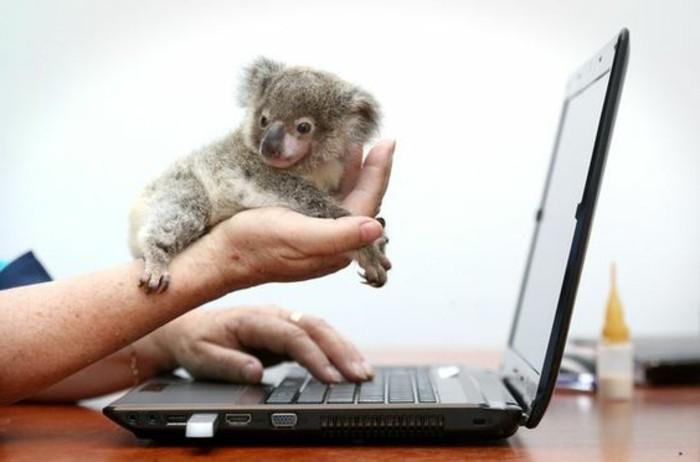 cool-koala-d-australie-nourriture-koala-ordinateur