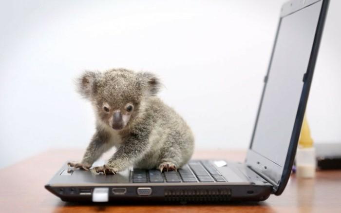 cool-voir-femelle-du-koala-beau-animal-ourse