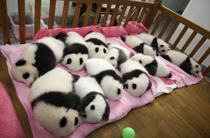 dormant-pandas-roux-ou-panda-noir-et-blanc-dormir