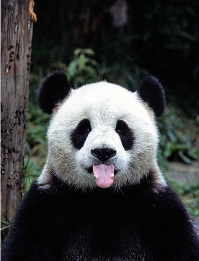 du-panda-roux-ou-panda-noir-et-blanc-1-chambre-bébé-panda-voir