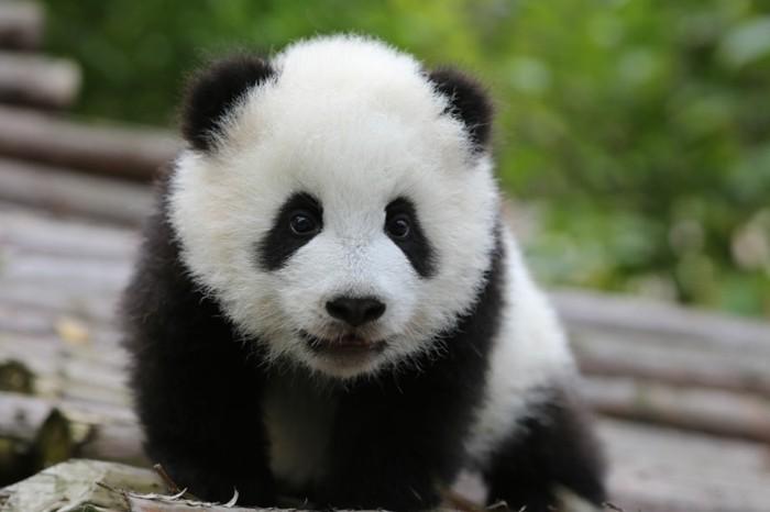 du-panda-roux-ou-panda-noir-et-blanc-animeaux-on-aime