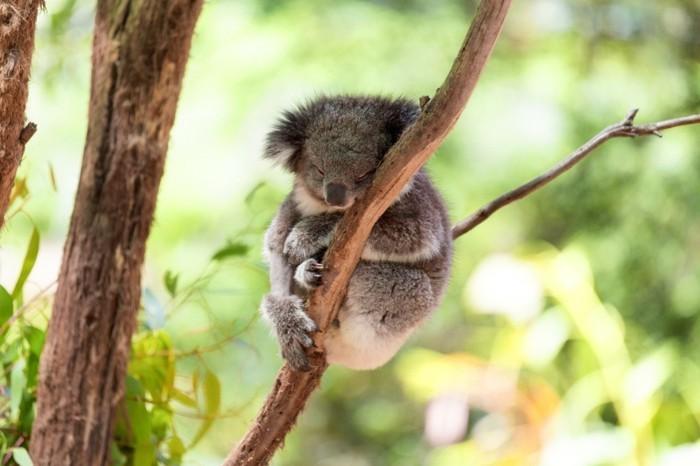 eucalyptus-koala-beauté-les-koalas-famille-oursons