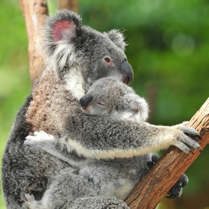 eucalyptus-koala-les-koalas-famille-oursons-amour